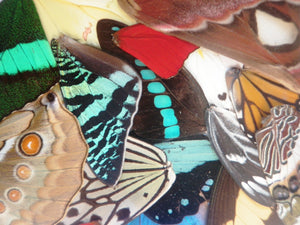 5 different pairs of real butterfly wings for craft projects