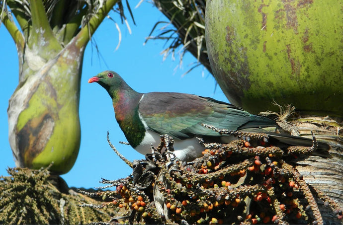 How our native birds help to plant forests