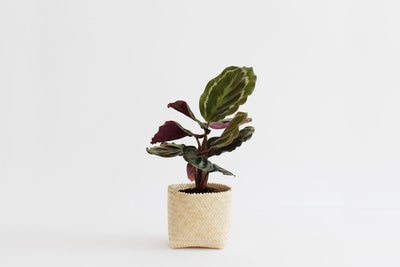 "4"" Prayer Plant + Basket"