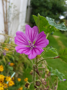 Common Mallow - 6g - Goren Farm Seeds