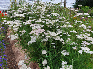 Yarrow - 3g - Goren Farm Seeds