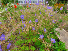 Load image into Gallery viewer, Meadow Cranesbill - 2g - Goren Farm Seeds