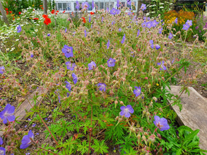 Meadow Cranesbill - 2g - Goren Farm Seeds