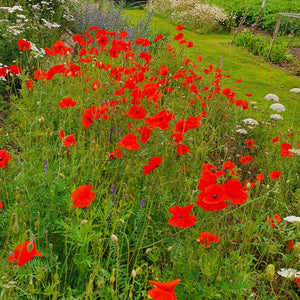 Corn Poppy - 5g - Goren Farm Seeds
