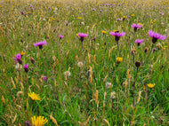 Common Knapweed - 6g - Goren Farm Seeds