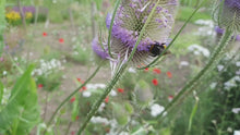 Load and play video in Gallery viewer, Teasel - 2g