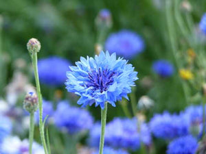 Cornflower - 8g - Goren Farm Seeds