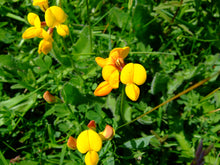 Load image into Gallery viewer, Birdsfoot Trefoil  - 2.5g