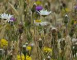 Premium wildflower and grass mix - Goren Farm Seeds