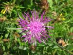 Load image into Gallery viewer, Greater Knapweed - 5g - Goren Farm Seeds