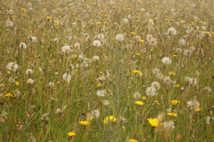 Meadow starter mix. - Goren Farm Seeds