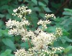 Load image into Gallery viewer, Meadowsweet - 2g - Goren Farm Seeds