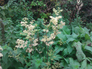Meadowsweet - 2g - Goren Farm Seeds