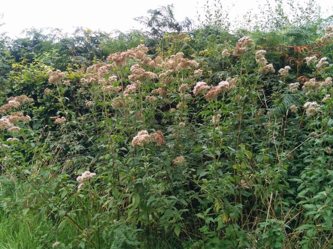 Hemp Agrimony - 1g - Goren Farm Seeds