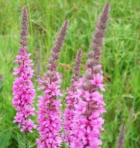Purple Loosestrife - 2g - Goren Farm Seeds