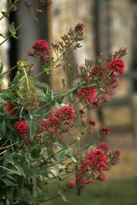 Red Valerian - 3g - Goren Farm Seeds