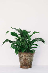 Spathiphyllum (Peace Lilly)