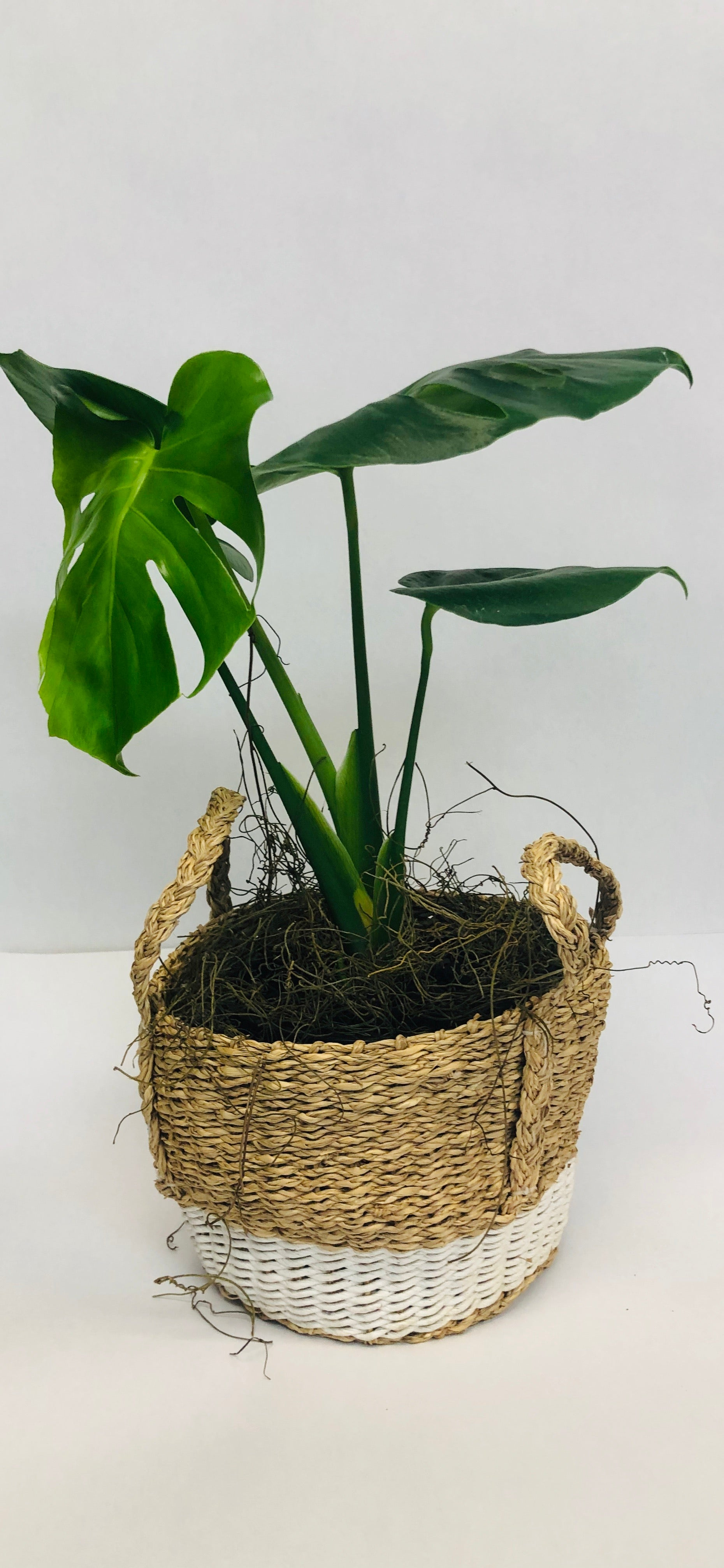 Monstera in basket - Blanc Flowers, Tauranga Florist