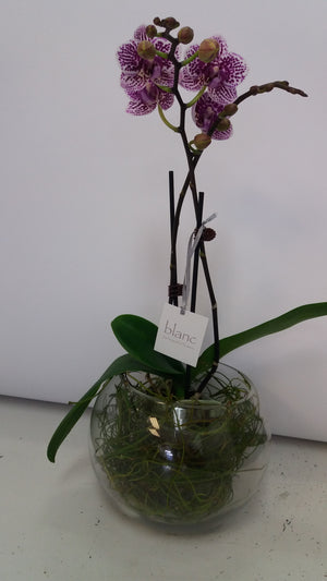 Miniature orchids in glass bowl - Blanc Flowers, Tauranga Florist