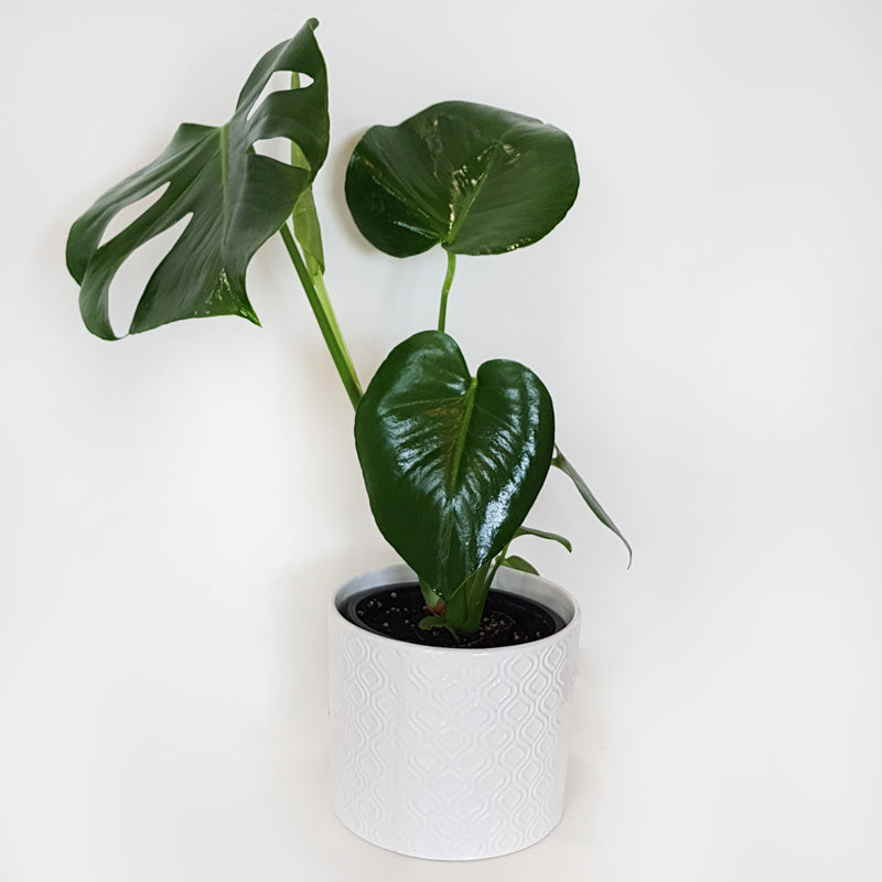 Monstera With Ceramic Planter