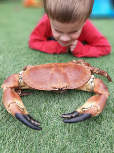 Extra Large Edible Crabs - Cancer pagurus