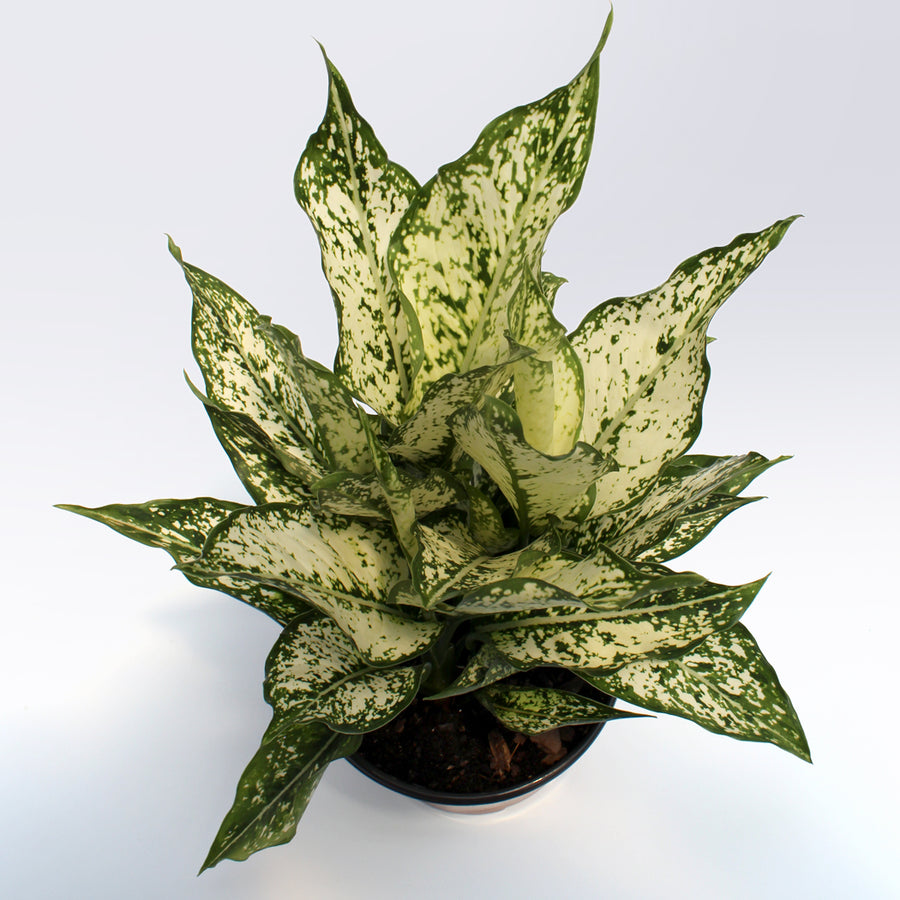 Chinese Evergreen (Aglaonema) 'Spring Snow'