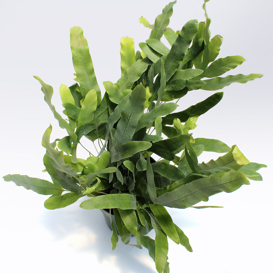 Blue Star Fern (Phlebodium aureum)