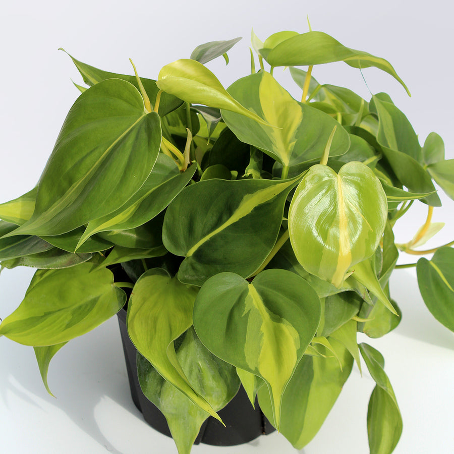 Philodendron 'Brasil'