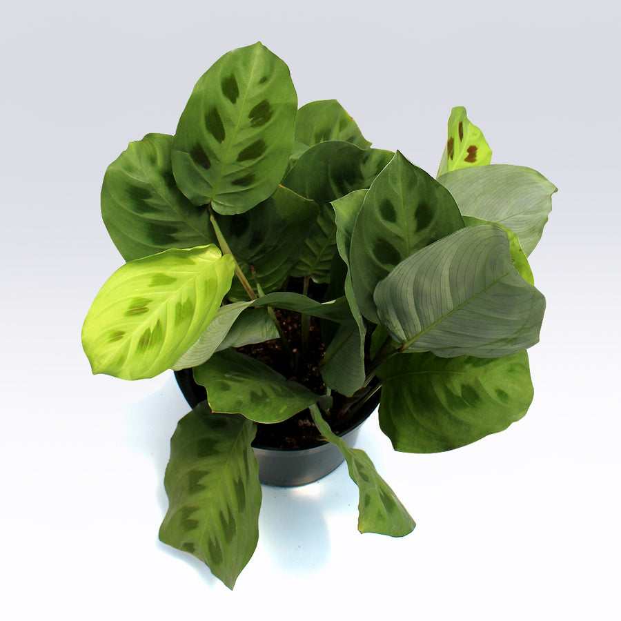 Green Prayer Plant (Maranta Kerchoveana)