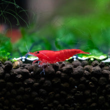Load image into Gallery viewer, Fire Red Cherry Shrimp - Neocaridina Davidi