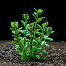 Load image into Gallery viewer, Rotala Ammania Bonsai