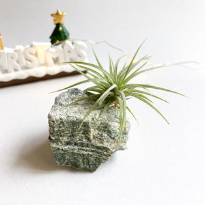 Airplant with Chrysotile