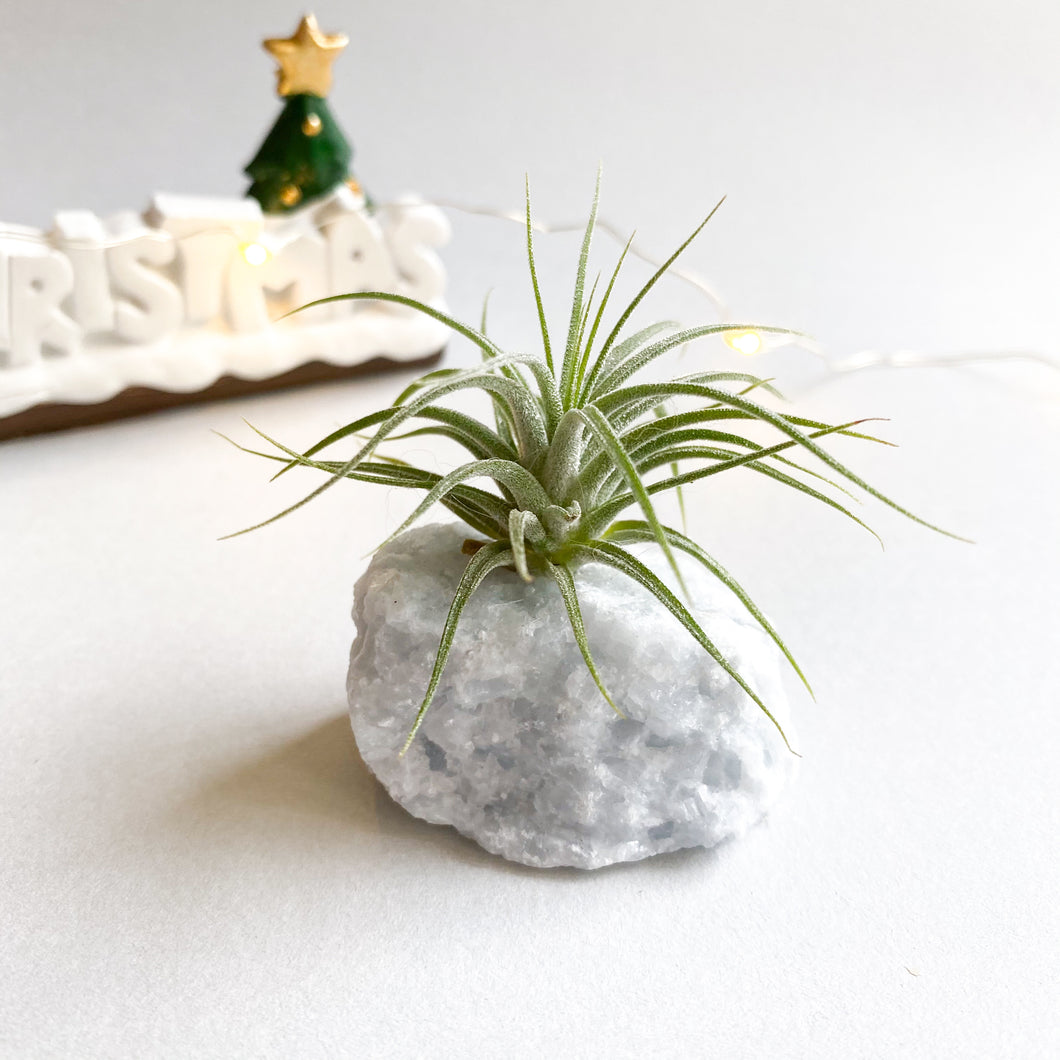 Airplant with Celestite