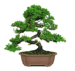 Outdoor Bonsai Trees For Sale