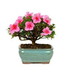 Flowering Bonsai Trees For Sale