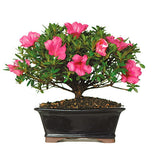 Azalea Bonsai Tree For Sale
