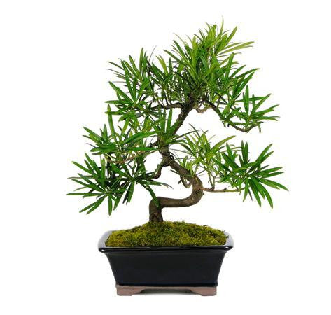 PODOCARPUS BONSAI TREE For Sale