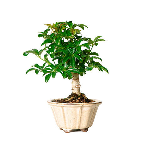 Hawaiian Umbrella Bonsai Tree