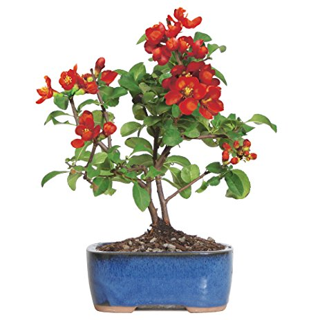 Japanese Red Quince Bonsai Tree For Sale