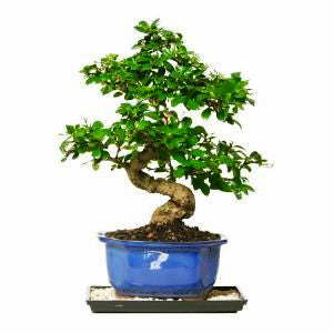 Fukien Tea Bonsai Tree For Sale