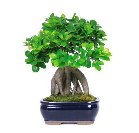 Gensing Grafted Ficus Bonsai Trees for sale