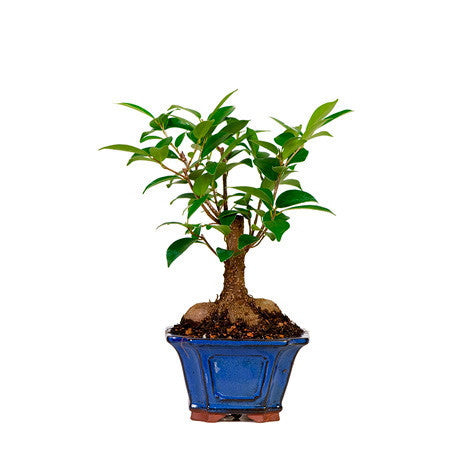 Ficus bonsai tree for sale
