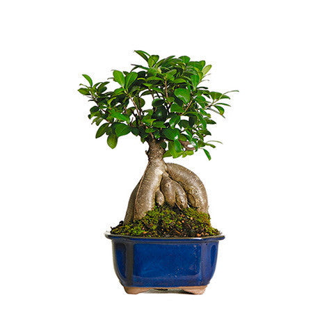 Ginseng Grafted Ficus Bonsai Trees For Sale
