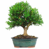 Harland Boxwood Bonsai Tree For Sale