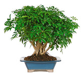 Hawaiian Umbrella Bonsai Tree For Sale
