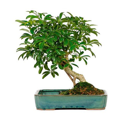 Impressive (Indoor Bonsai)