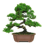 Green Mound Juniper Bonsai Trees For Sale
