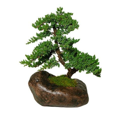 Green Mound Juniper Bonsai Trees in Rock Container
