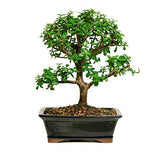 Jade Bonsai Tree For Sale