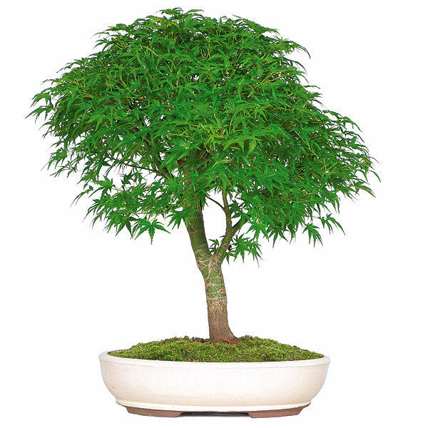 Japanese Maple Bonsai Tree For Sale